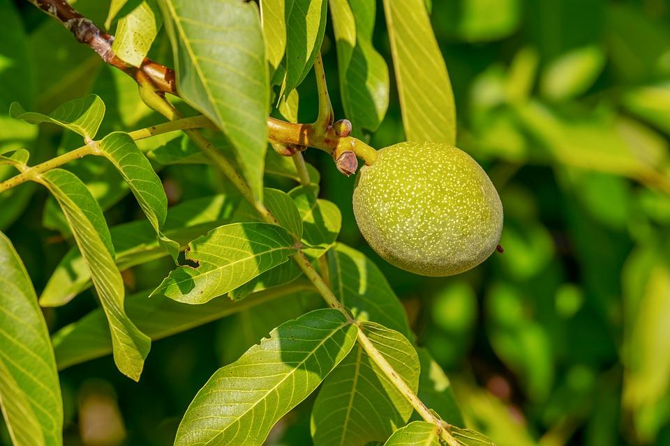 walnut-3563526_960_720