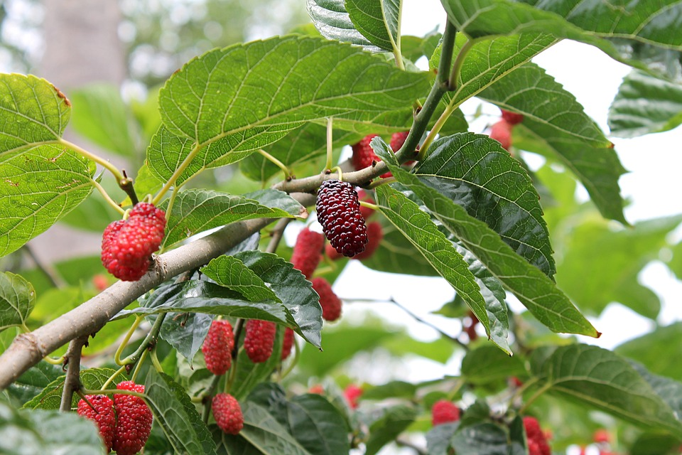 mulberry-2353908_960_720